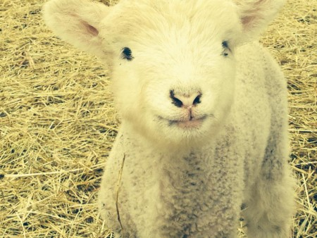 Lambing Days