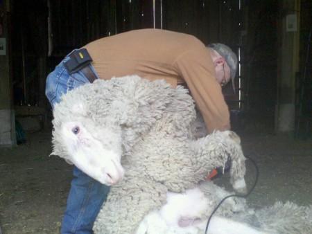 Shearing of the Sheep