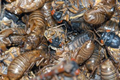 Return of the 17-Year Cicadas