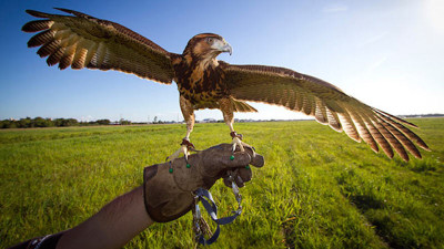 The Art of Falconry: Up Close with Hawks