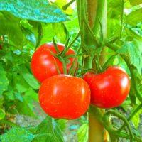 primary-How-to-Grow-Terrific-Tomatoes--1486511105