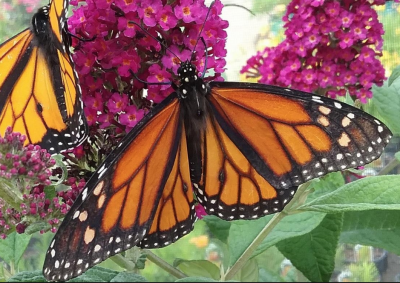 Lyceum Lecture - Fran LeMasters: Pollinators, the Nature of Butterflies
