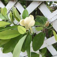 Seminar - Marvelous Magnolias