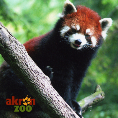 International Red Panda Day at the Akron Zoo