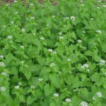 Garlic Mustard Pull and Spring Wildflower Walk